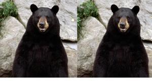 Left: A Real Bear      Right: A Craft Bear