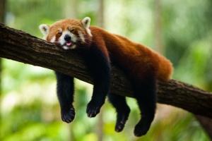 Red Panda: Not  a Real Bear